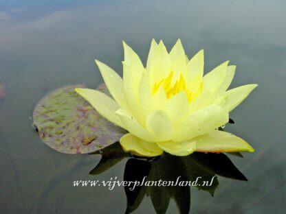 Nymphaea Yellow Sensation